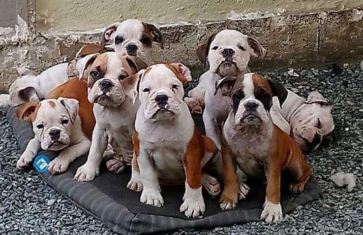 Cachorros <strong>bulldog</strong>s Ingles