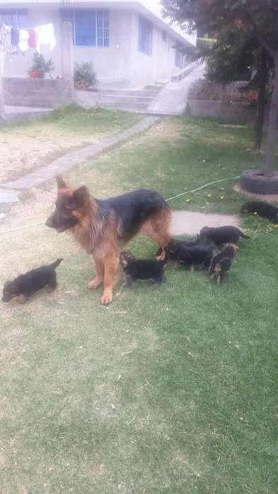 Cachorros Pastor Aleman 0963083211