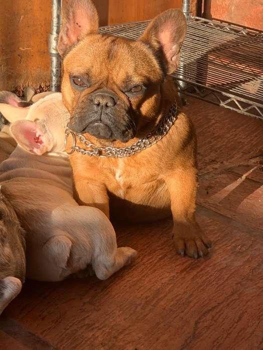 Bulldog Frances 8 Meses Hembra Mini