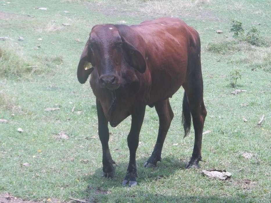 Vendo <strong>ganado</strong> lechero Sur del Tolima