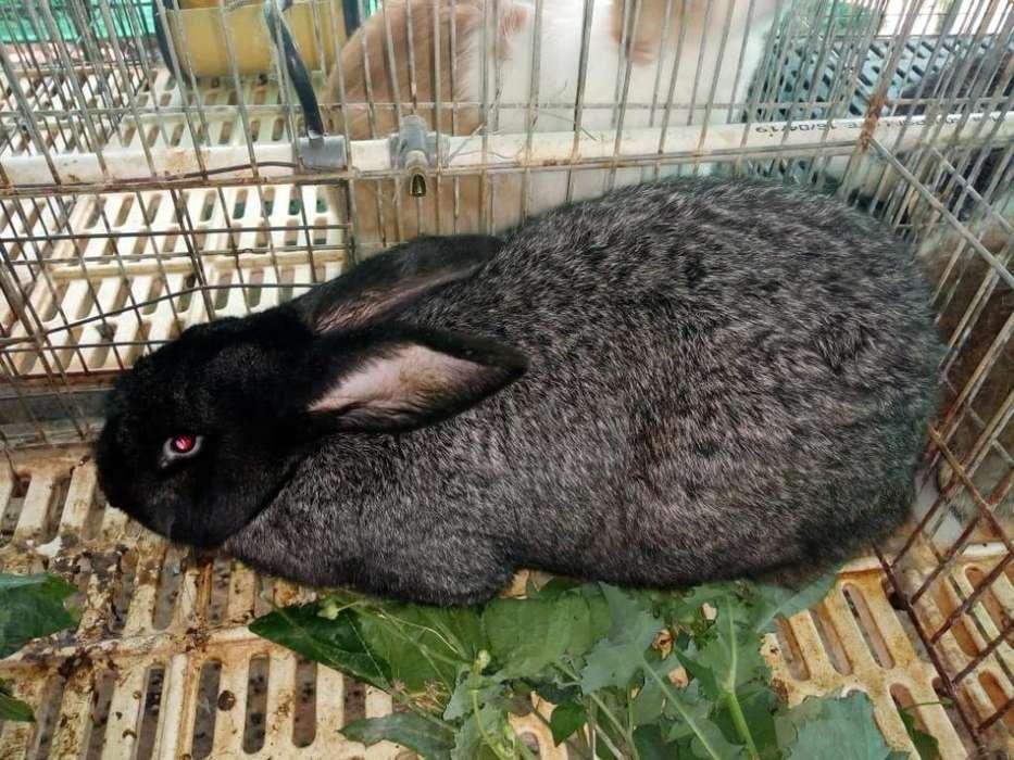 Autenticos Conejos Gigantes 3143559923