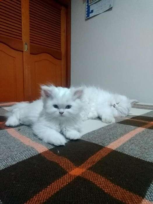 Gato Persa Puro macho.
