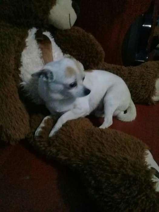Monta Chihuahua