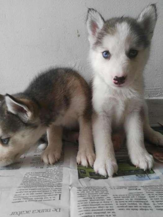 compañeritos lobos huskies