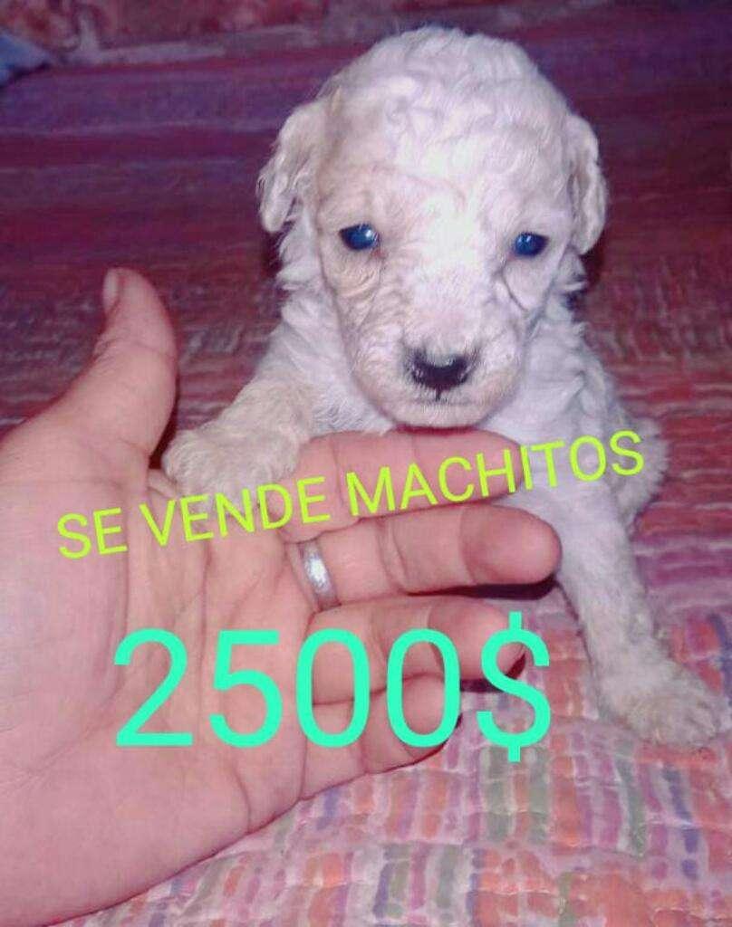 Machitos Caniche