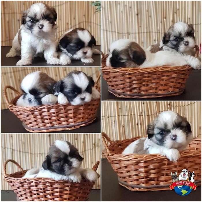 Hermosos cachorros Shitzu de todos los colores y de la mejor calidad