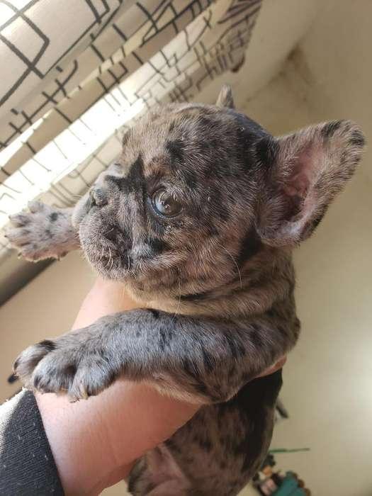 Bulldog Francés Merle, Portador Gen Blue