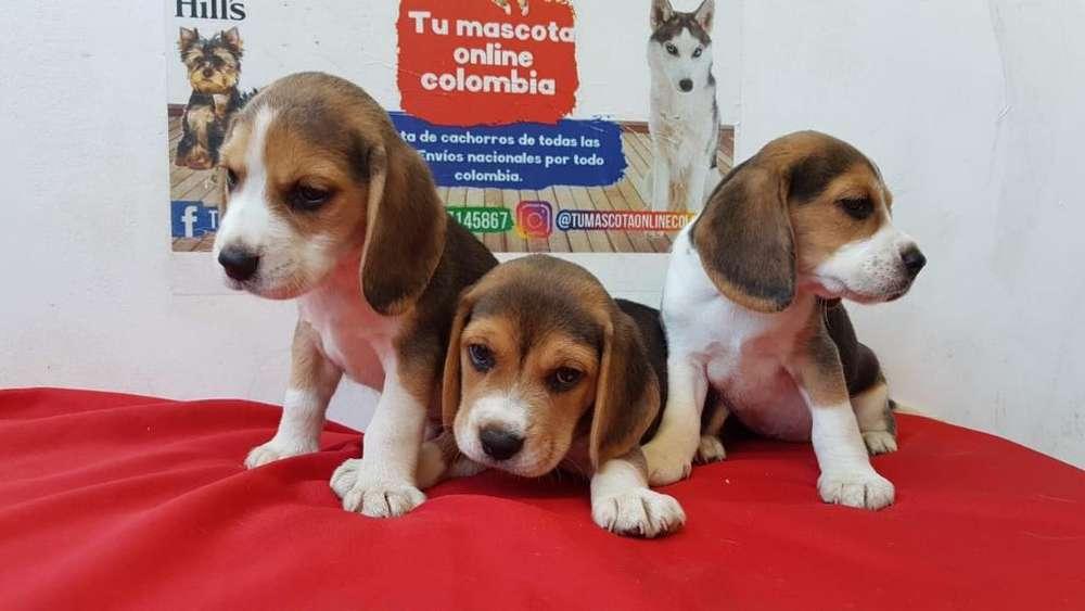 Extrabellos Beagles Miniatura Gordos Y