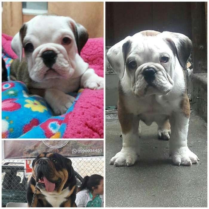 Cachorro <strong>bulldog</strong> Ingles