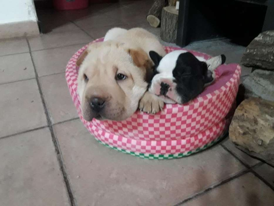 Cachorros Sharpei Y Bull Dog Frances