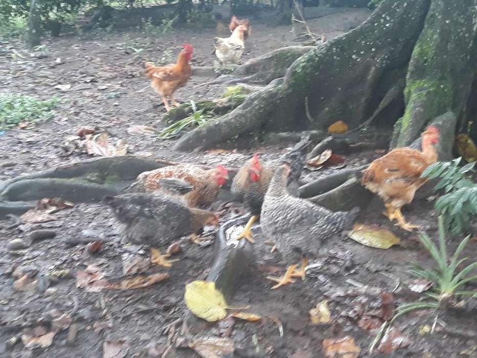 Pollos Camperos