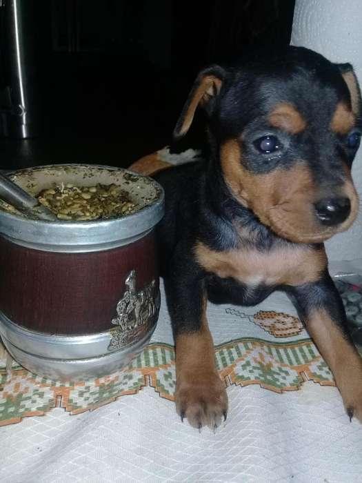 <strong>cachorro</strong>s pincher exelentes 3814563886 tel 4270375