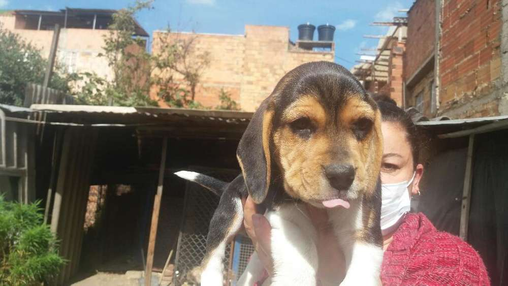 Lindos Beagles en Venta