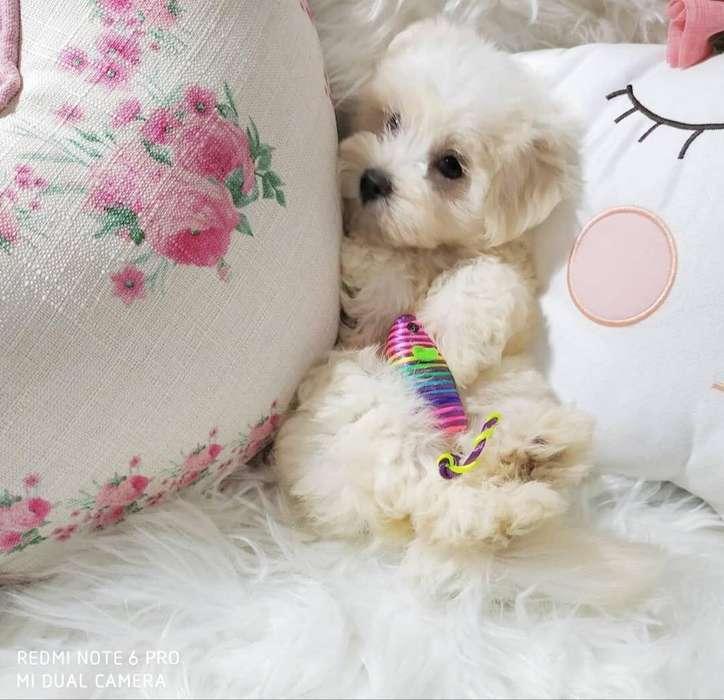 Hermoso Cachorro Bichon Maltes