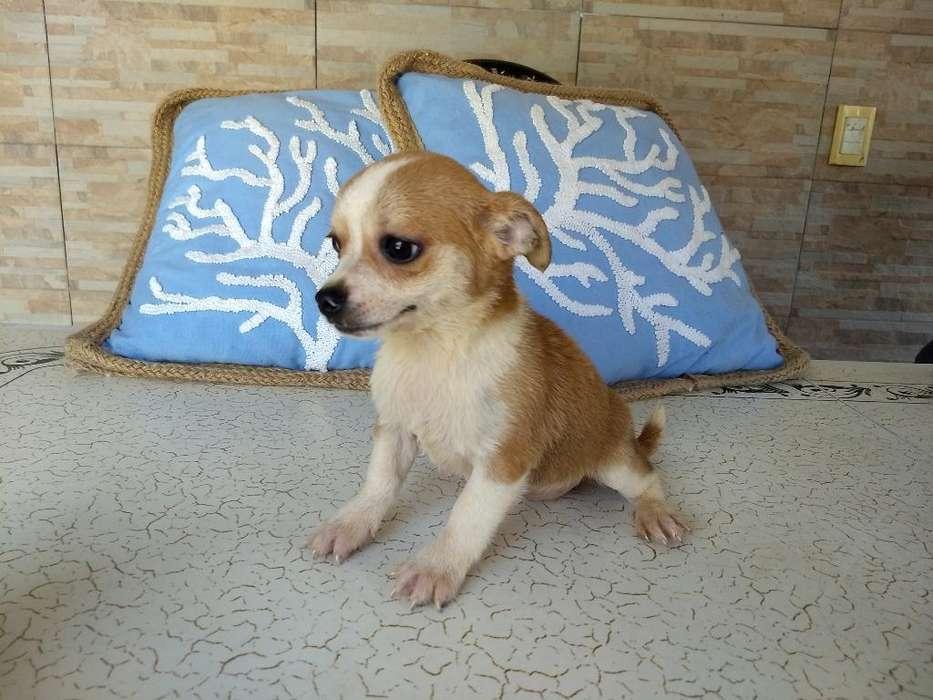Hembrita Chihuahua Beige Y Blanca