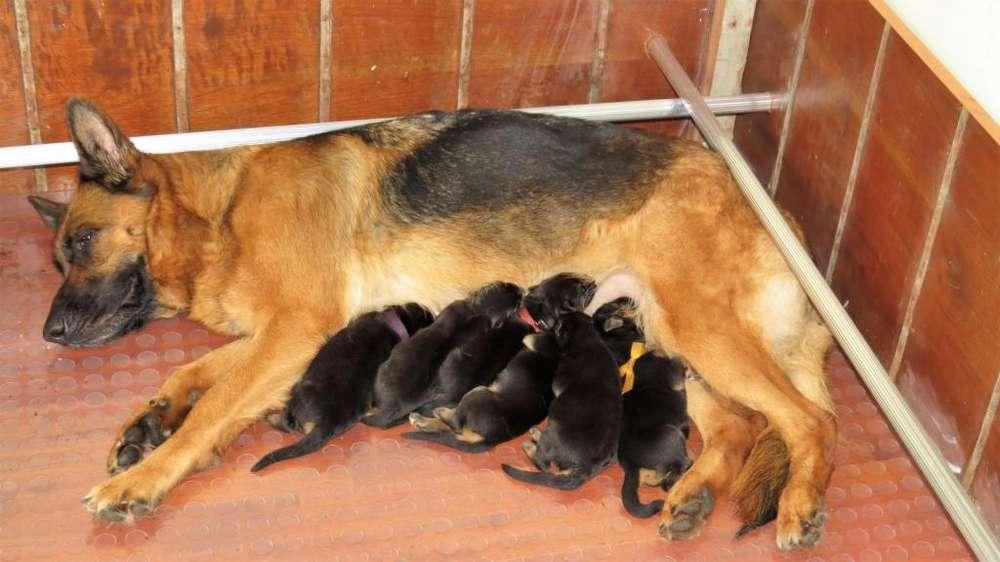 Cachorros Pastor Aleman Hembras . Pedigree ACCC