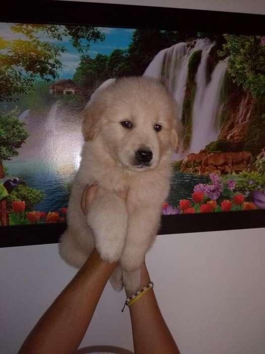 Cachorra Golden Retriver Disponible