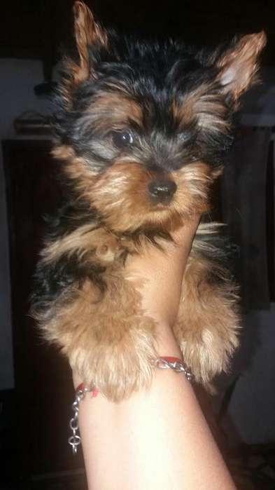 Vendo Yorkshires Terrier 1543995895
