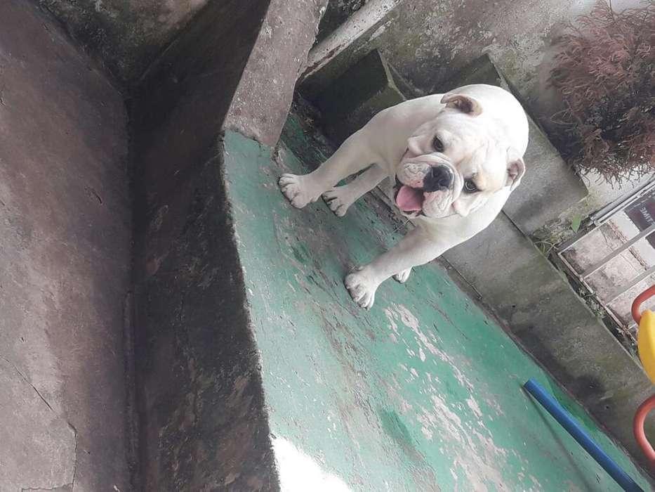 Bulldog Ingles Servicio