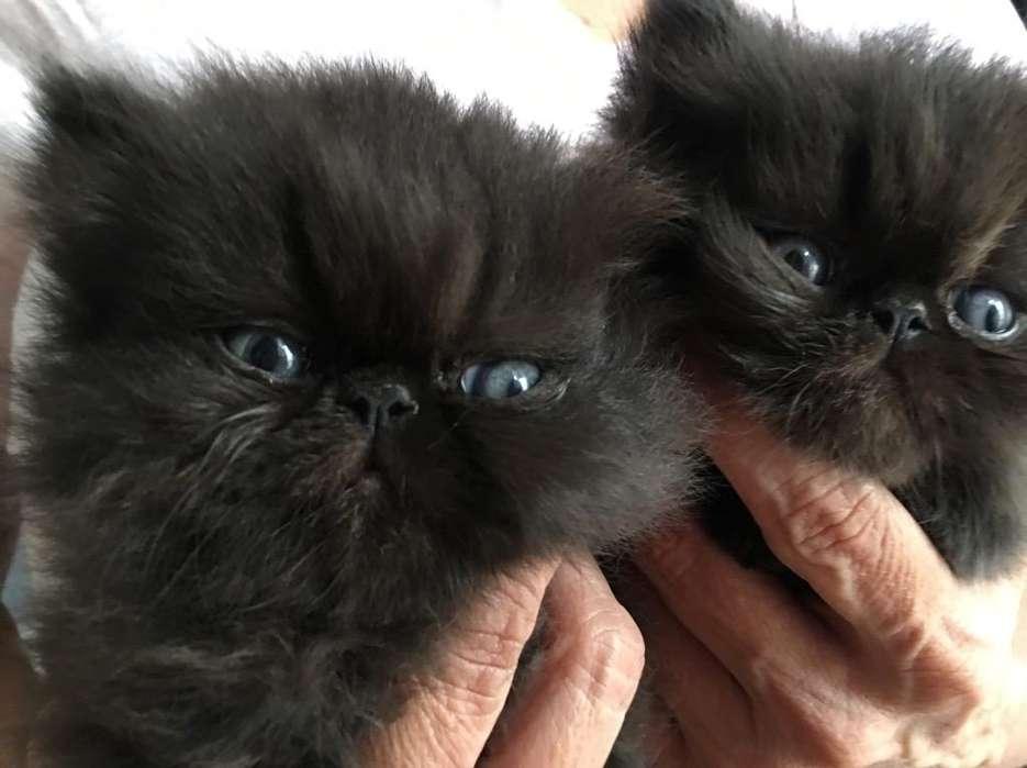 Gatos Persa Puros en Venta