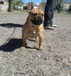 Macho Bulldog Frances