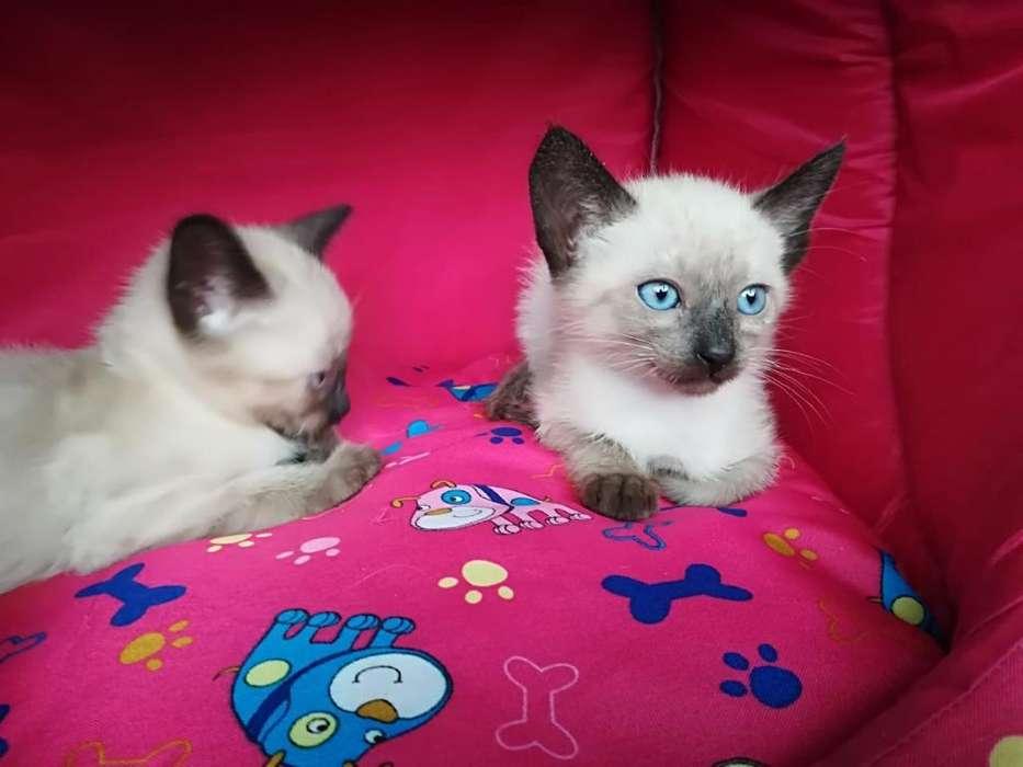 gatos siames