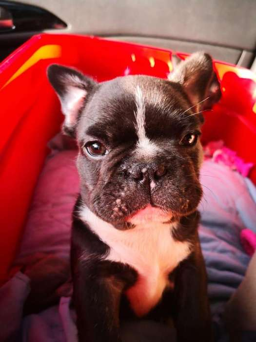 Bulldog Frances (Frenchies) se venden