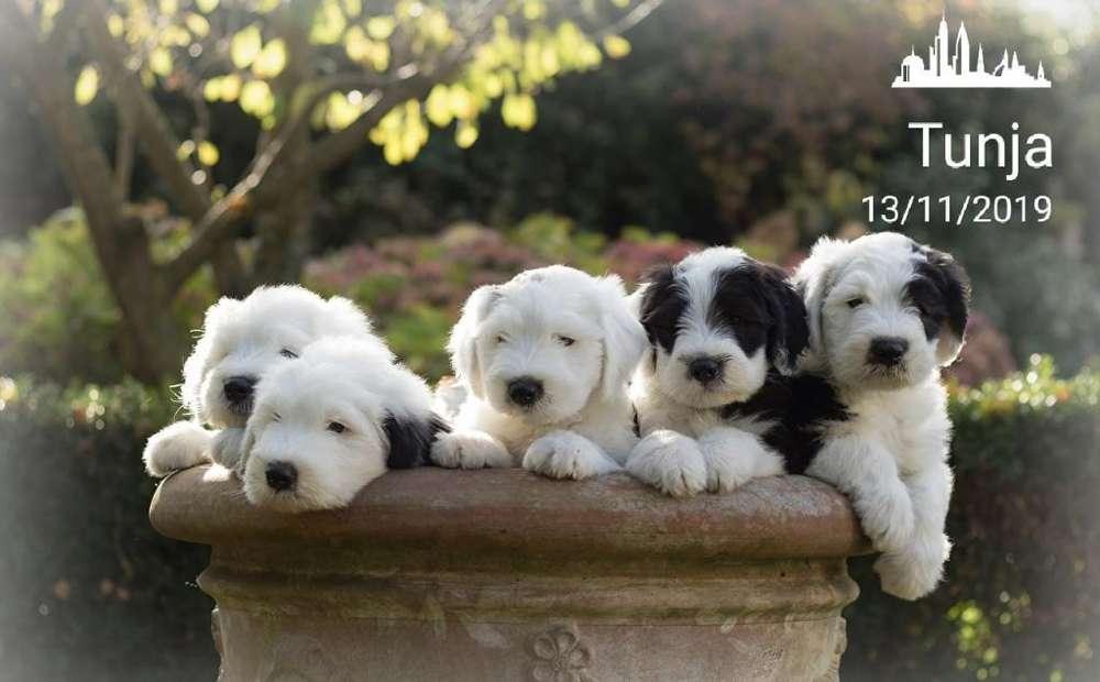 Cachorros Pastor Ovejero