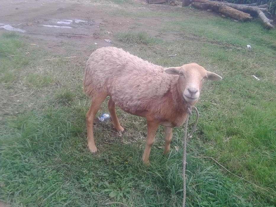 Vendo oveja 3233134471