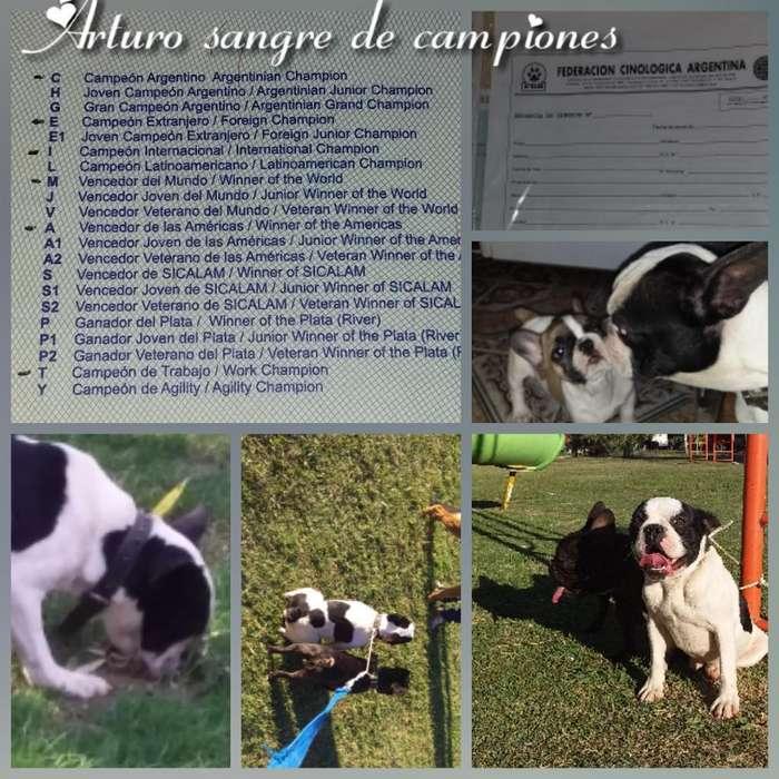 Bulldog Francés con Fca en Servicio de E