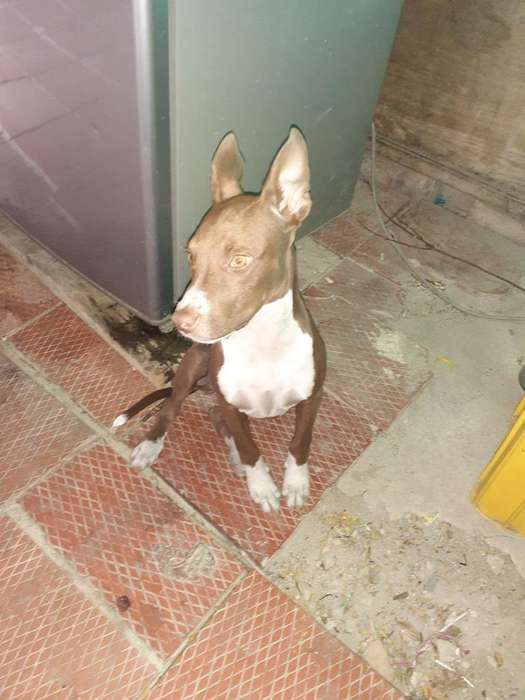 Pitbull Stanfor <strong>terrier</strong>