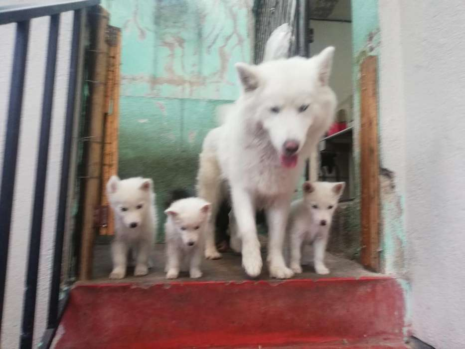 <strong>cachorro</strong>s Husky