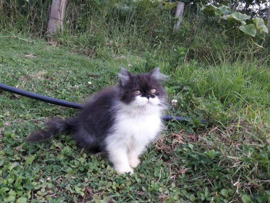 <strong>gato</strong> Persa