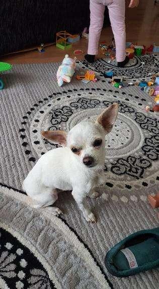 cachorros Chihuahua