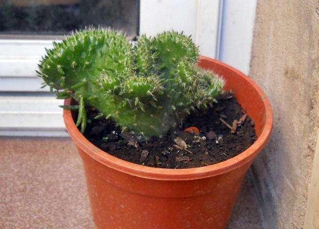 Cactus Opuntia Subulata Crestada Maceta 12