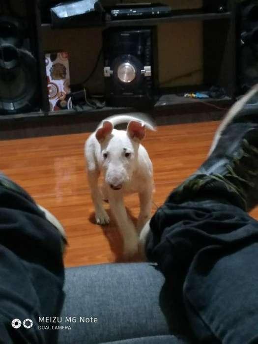 Cachorro bulterrier disponible!