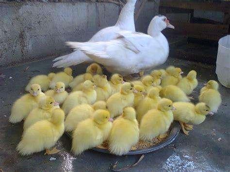 patos bebes de primera