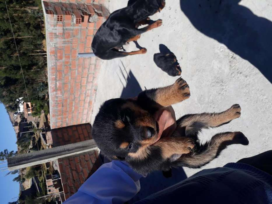 Vendo <strong>cachorro</strong>s Rottweiler