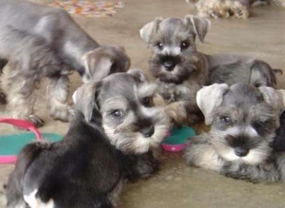<strong>cachorro</strong>s Schnauzer