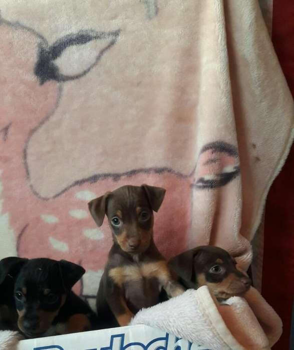 Cachorros Doverman Picher Miniatura
