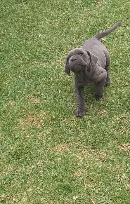 De Venta Hermosos <strong>cachorro</strong>s Mastn Napolitano