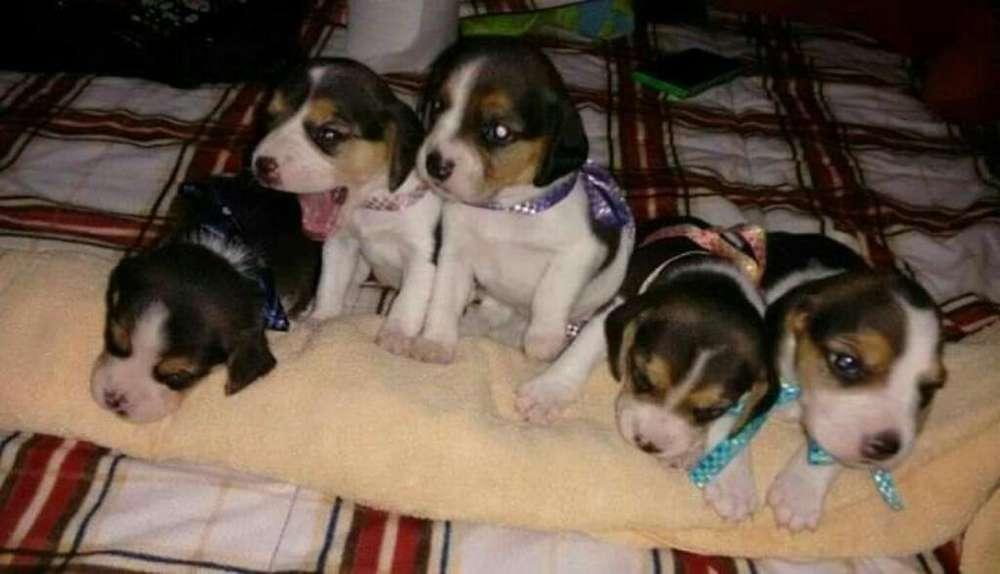 Super Leoncitos <strong>beagle</strong>s Enanos