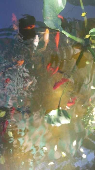 Peces Goldfish Y Carpas