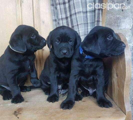 vendo hermosos cachorros labrador negro y dorado
