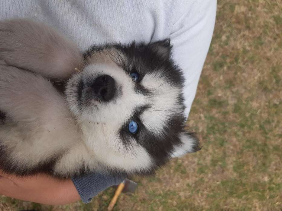 Husky <strong>cachorro</strong>s