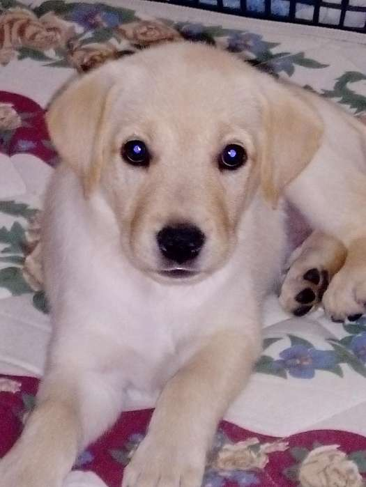 Vendo Cachorra Labrador Retrier