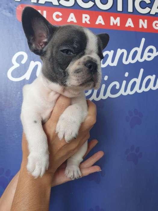 Bellos Y Tierno Bulldog Francé Pied Blue