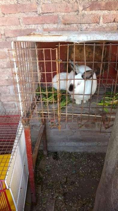 Conejas Y Conejos Californianos E Hidrid