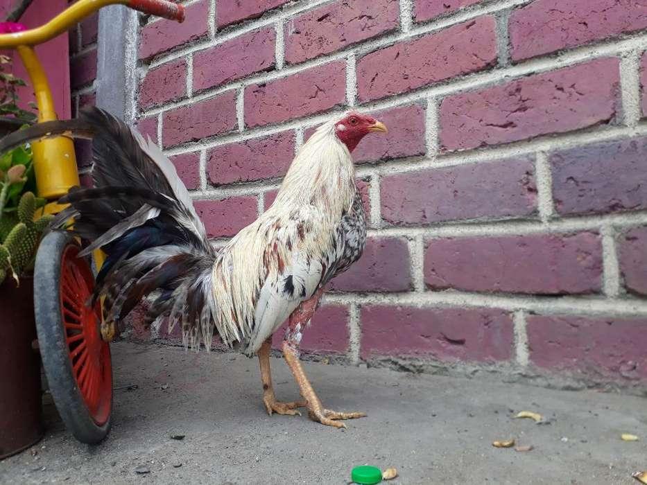 Vendo <strong>pollos</strong> 9 Meses