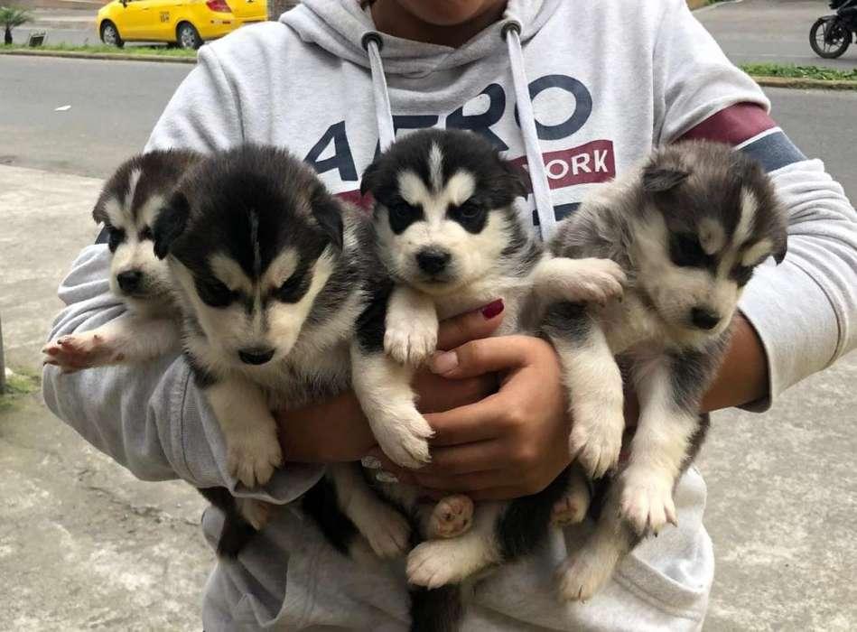 Hermosos cachorros lobos Alaska Malamute